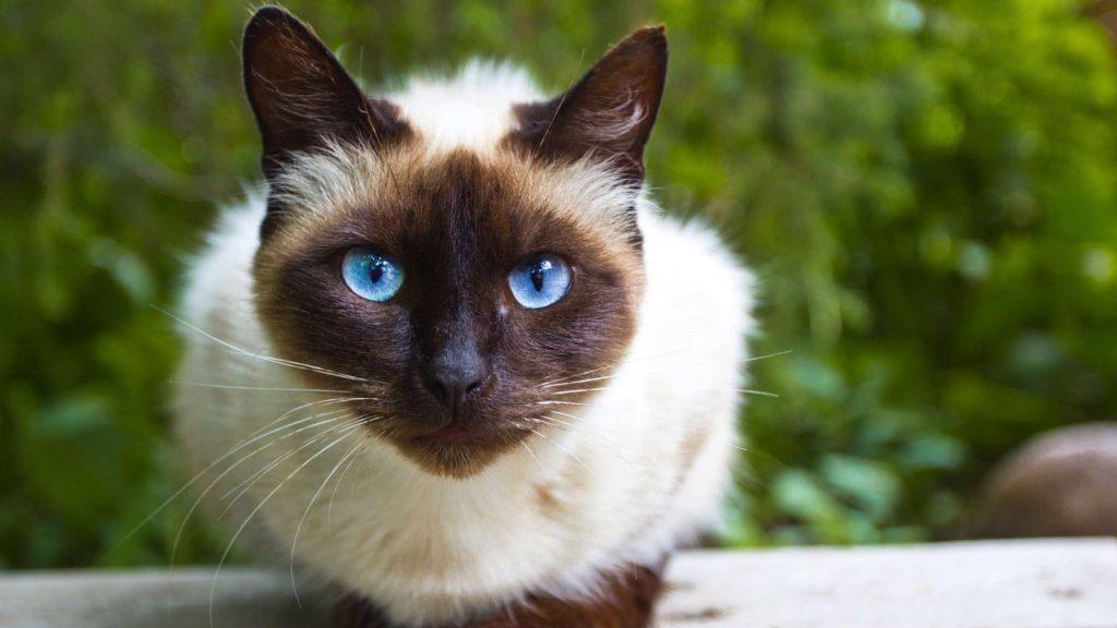 Cuidado especial aos gatos de pelagem clara, que podem sofrer queimaduras. Manter o pelo escovado ajuda a diminui a sensação de calor no gato.