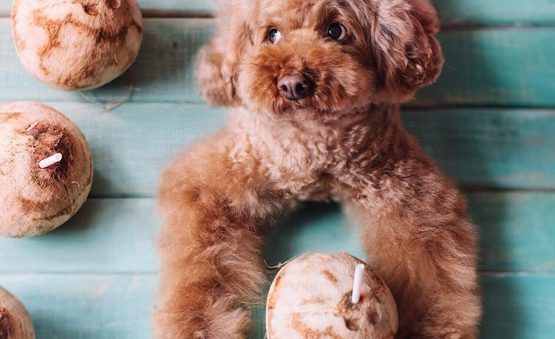 Óleo de Coco para Cães: Conheça os Benefícios
