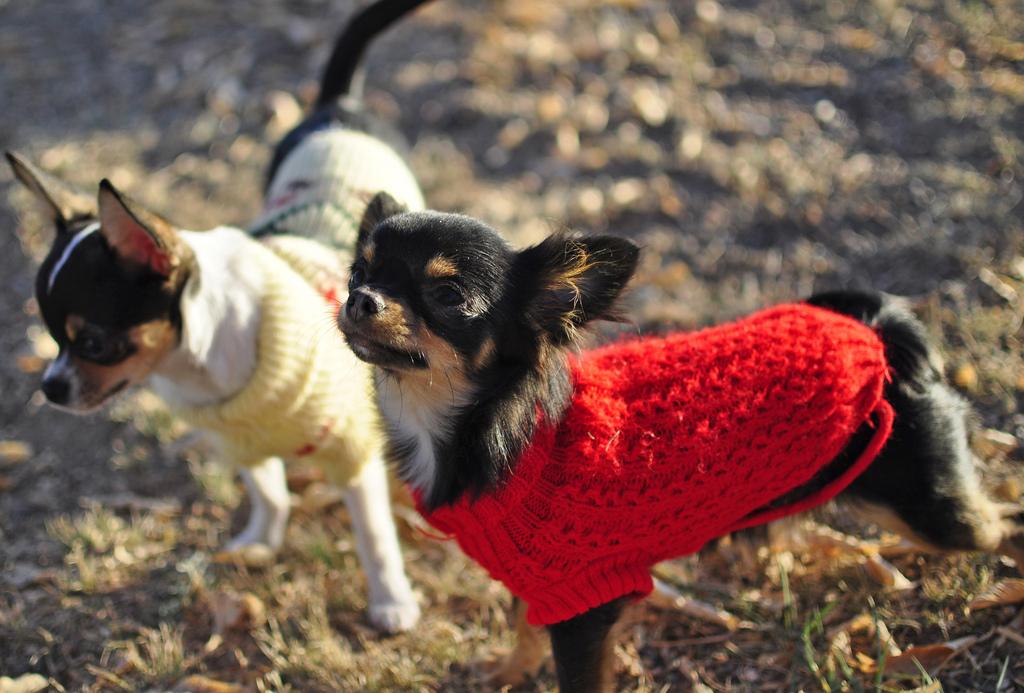 As Roupinhas podem ser ótimas aliadas dos pets no inverno, desde que eles se sintam confortáveis