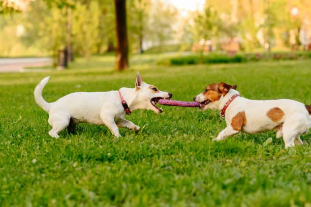 Cabo de Guerra entre cães também é uma ótima opção! Eles vão ficar entretidos por horas!!
