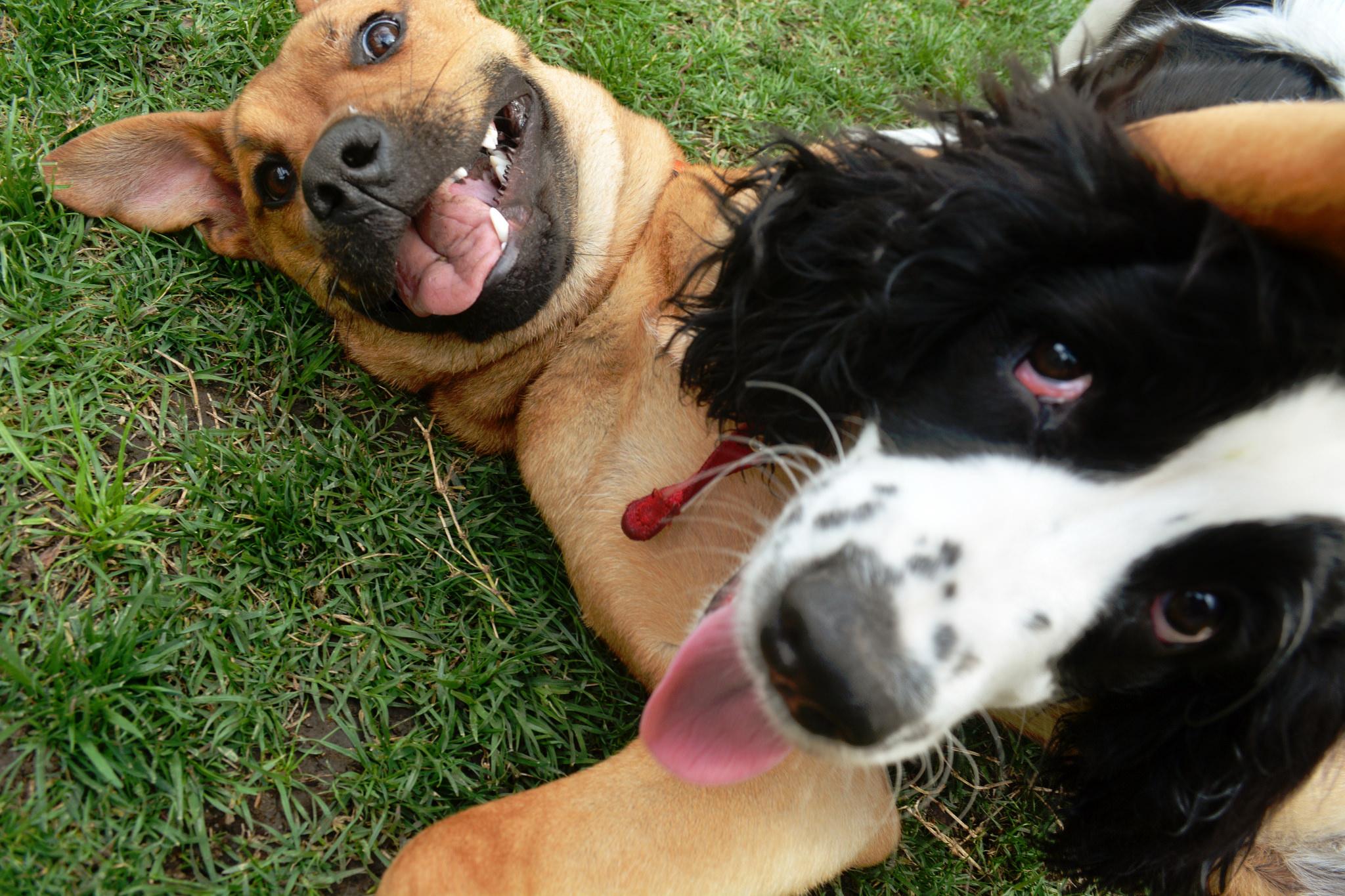 Socialização em Cães adultos é assunto sério! Mesmo que tenham sido socializados filhotes, se o treinamento for interrompido, o cão pode se tornar medroso, ansioso e até agressivo.
