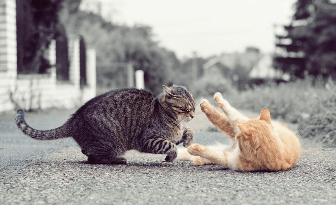 Agressividade entre gatos pode ser ocasionada por disputas por território ou fêmeas, agressões anteriores, mudanças na rotina entre outras causas.