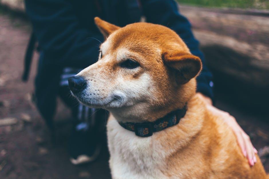 Ao ficarem idosos, os cães podem sofrer alterações no cérebro que afetam a memória e compreensão.