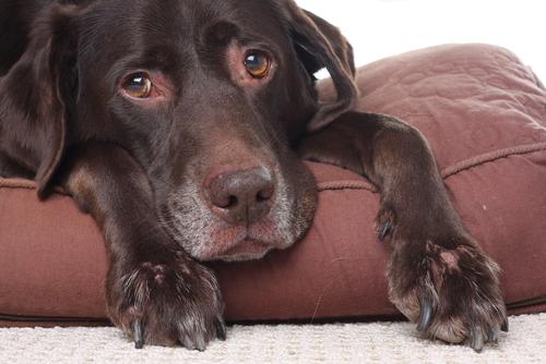 Estimular o cão ao longo da vida toda é uma maneira de prevenir a demência.