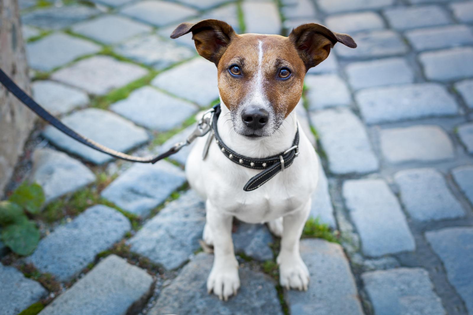 É importante que seu cão esteja identificado para o caso de ele se perder de você.