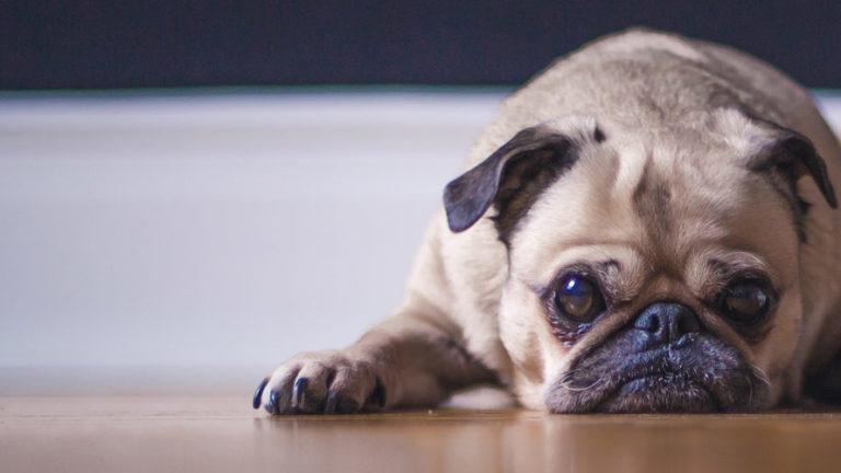 Lesões e fadiga muscular podem causar tremores no músculo do seu cão.