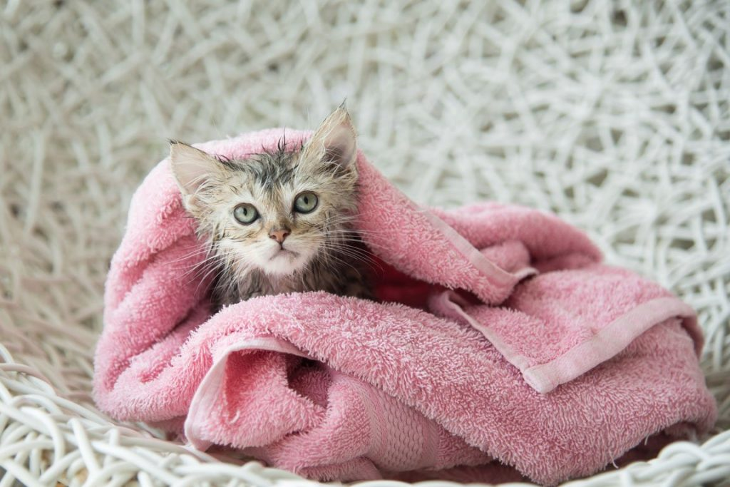 Se você quer dar banho no seu gato, ele precisa se familiarizar com o espaço que será dado o banho, com a banheira/pia, e tudo precisa estar preparado.