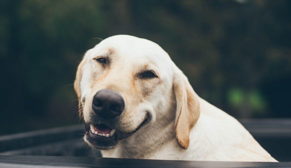 O olhar do seu cão te observando pode significar muitas coisas, já pensou nisso? Saiba as possíveis razões.