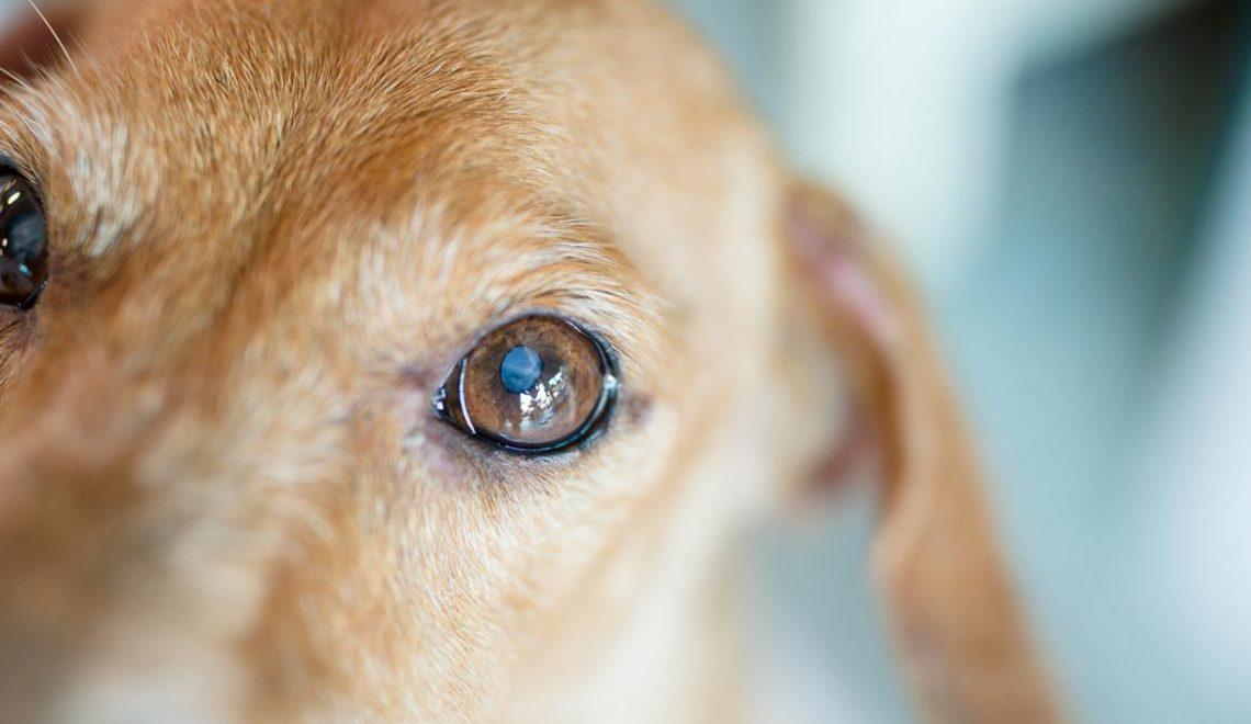 Cães cegos precisam de alguns cuidados para viver bem e com segurança!
