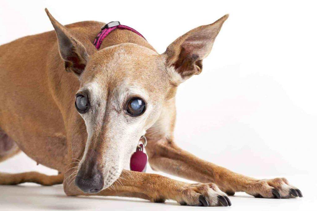 Se o cão ficou cego gradativamente, a adaptação geralmente é mais fácil e quase nem precisa do apoio do dono.