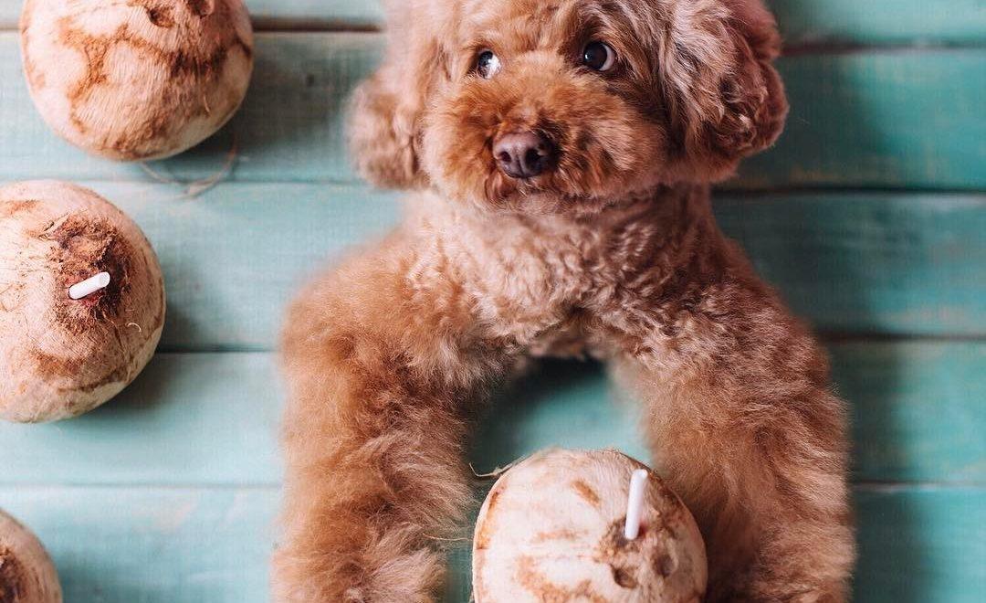 Óleo de Coco traz inúmeros benefícios a saúde dos cães, e pode ser usado além da alimentação.